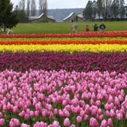 Tulip Tourists